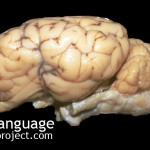BodyLanguageProjectCom - Reptilian Brain (the) Or The Honest Brain